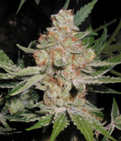Alien Dog Marijuana Seeds A Strain Reviews A Cali Connection Seeds