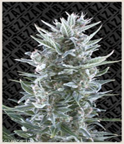 Blue Magnum Marijuana Seeds