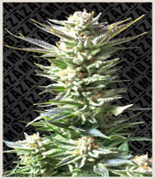 Fruit Juice Marijuana Seeds
