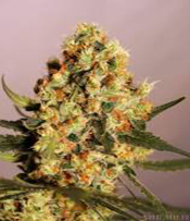 Jamaican Dream Marijuana Seeds