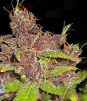 Purple Mazar Marijuana Seeds