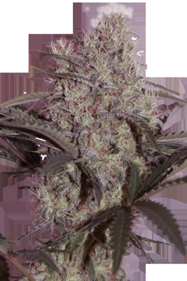 Jack Widow Marijuana Seeds
