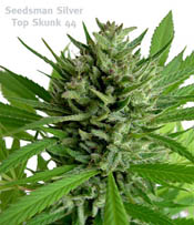 Top Skunk 44 Marijuana Seeds