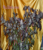 Ms.Universe Marijuana Seeds