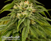 Lemon Juice Express Marijuana Seeds