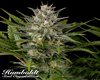 Pineapple Skunk Marijuana Seeds