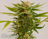 Sour Diesel #2 Marijuana Seeds