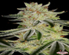 Blue Power Marijuana Seeds