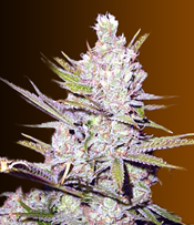 Haze Xtreme Marijuana Seeds