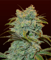 Ice Wreck Marijuana Seeds