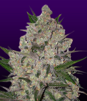 Nothern Lights Marijuana Seeds